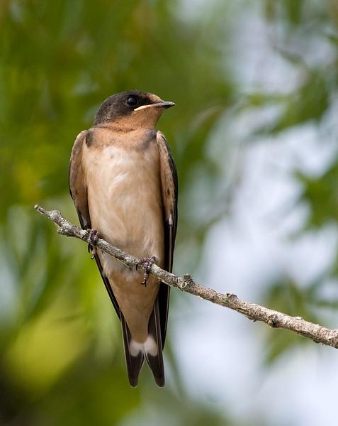 fledgling-swallow_4669554225_o.jpg
