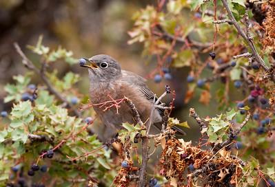 Birds California