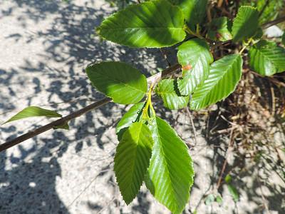 White Alder (Alnus rhombifolia)