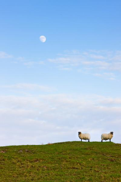 Sheep Moonrise, Glen Gorm