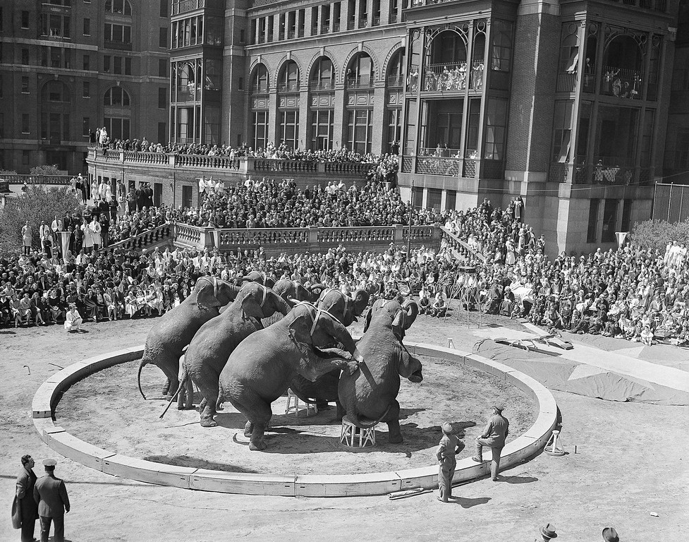 . Interest centers on an elephant act, as the Ringling Brothers and Barnum & Bailey Circus gives a 12-act performance outdoors for patients at Bellevue Hospital in New York, April 25, 1941. More than 5,000 persons were in attendance. (AP Photo)