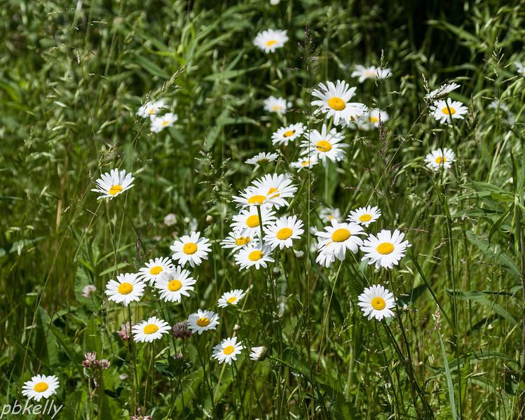 June 2.  Crook Street Wetlands. Daisies in bloom.