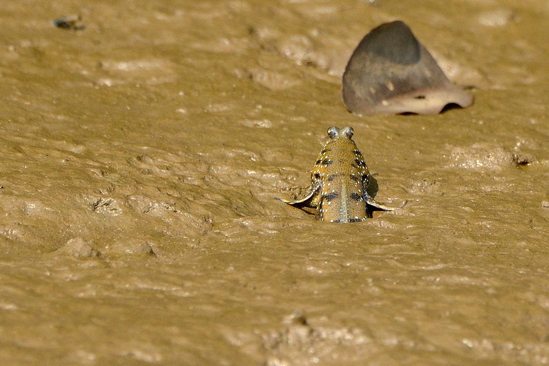 Mudskipper-02.jpg