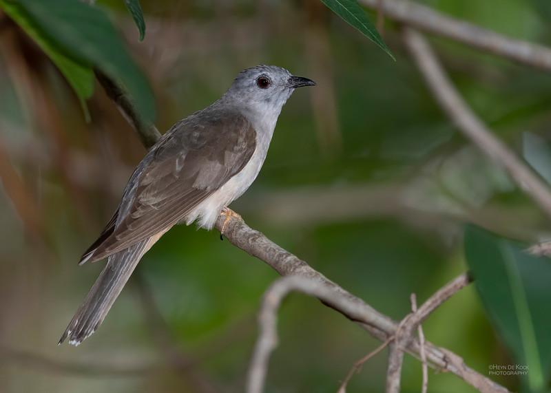 Brush Cuckoo, Townsville, QLD, Jan 2020-1.jpg