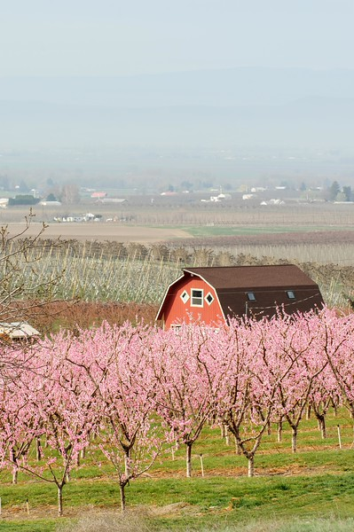 Young Peach Orchard and Barn in Zillah