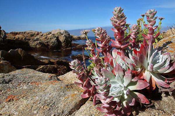 Coastal Plantlife Garrapata State Park, Big Sur, California