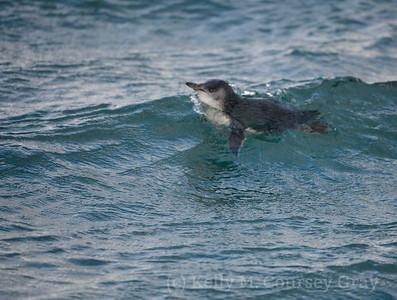 Penguins in New Zealand
