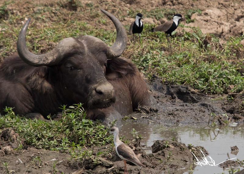 Wisyrt BuffaloS-7.jpg