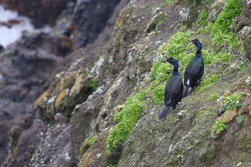 Pelagic Cormorant (Phalacrocorax pelagicus)
