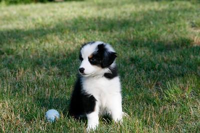 Aussie Puppy