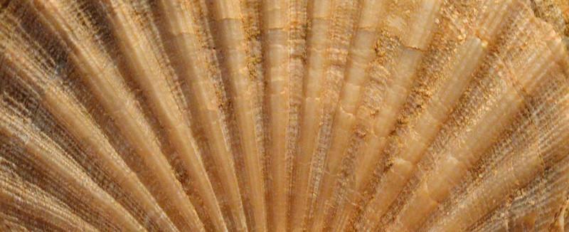 scallop-closeup-ridges-2000px.jpg