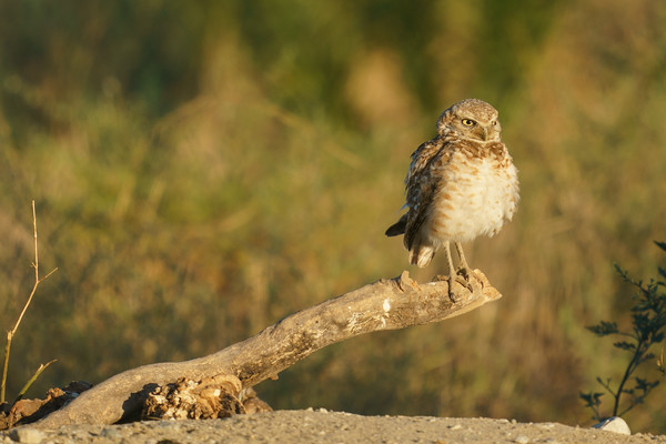 Burrowing Owls Ontario