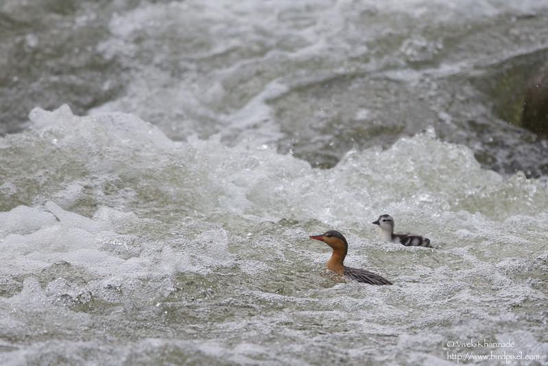 Torrent Duck with duckling - Near San Isidro Lodge, Ecuador