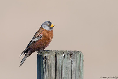 Gray-crowned Rosy-Finch, Leucosticte tephrocotis