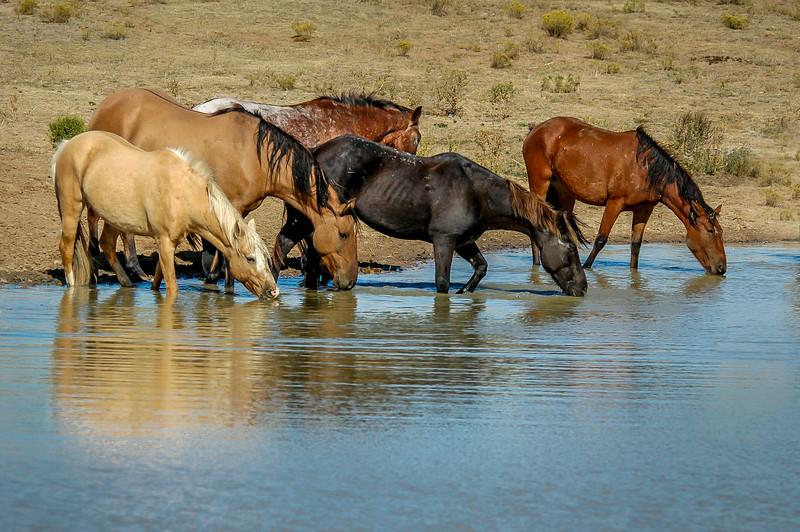 Wild Horse Group Drinking #2