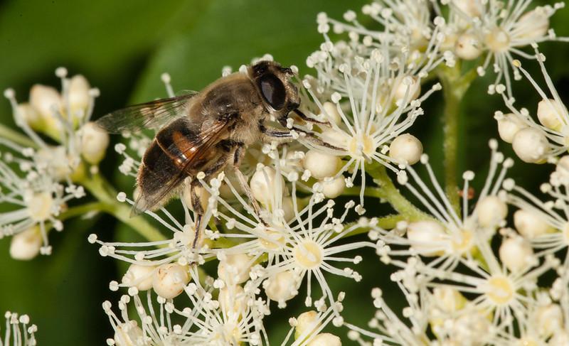 Male hoverfly on hydrangea petiolaris.