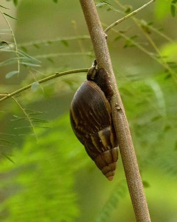 Hawaiian Tree Snail