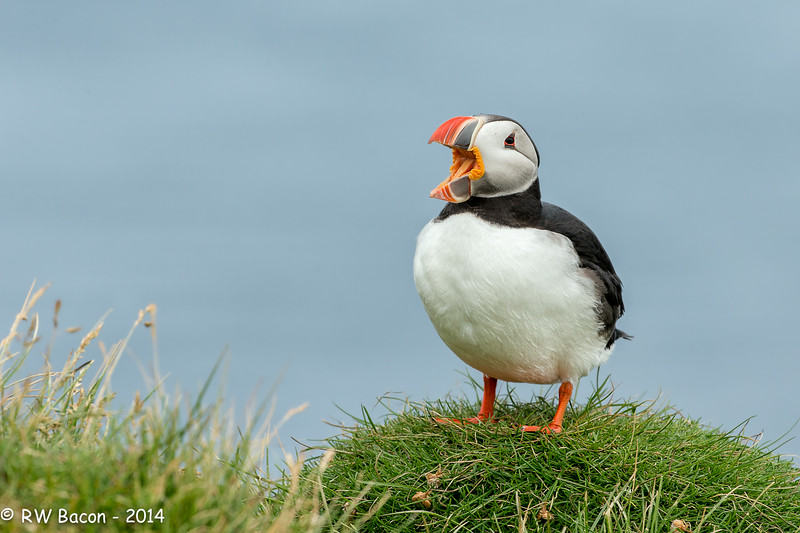 Puffin Hollerin.jpg