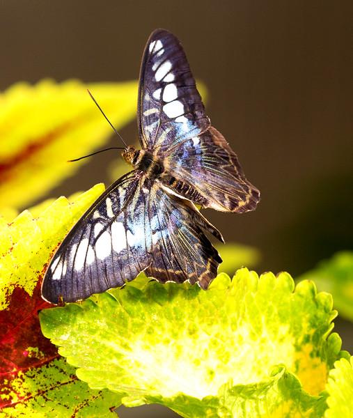 A Clipper Butterfly