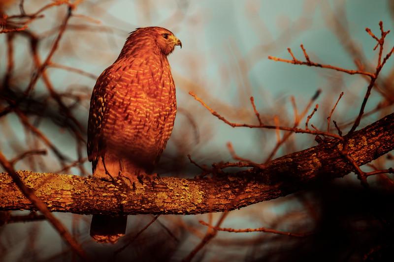 11.28.18 - Prairie Creek Marina: Red-shouldered Hawk