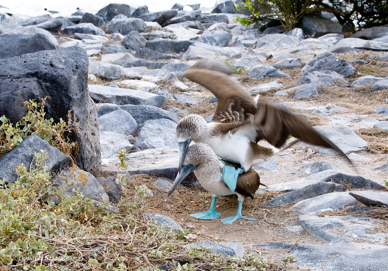 Blue-Footed Boobies mating at Punta Suarez, Espanola Island