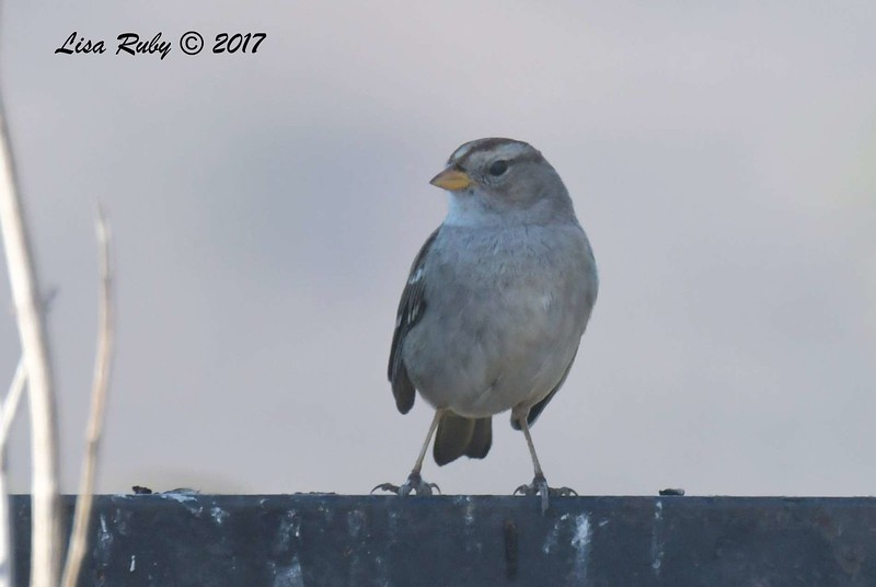 White-crowned Sparrow - 12/19/2017 - Yard