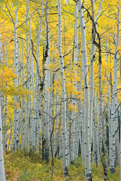 Aspens, Kebler Pass, Colorado