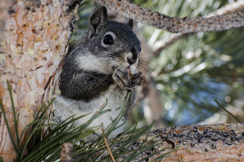 Douglas squirrel in ponderosa pine in Mammoth Lakes, California.