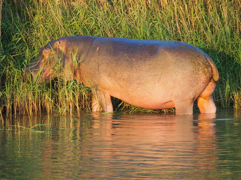 P5036156-lone-eating-hippo.JPG