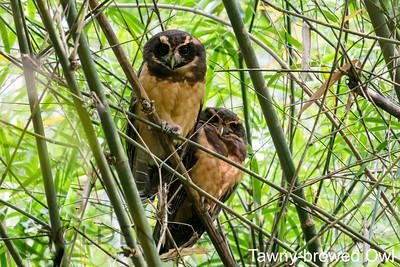Tawny-browed Owl, Pousada da Fazenda, Monte Alegra do Sul, Brazil