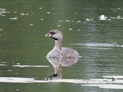 20200813 Pie-billed Grebe