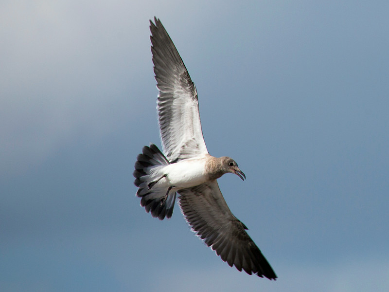 We arrive at the tip of the Texas City dike and are greeted by a Brown Gull in flight