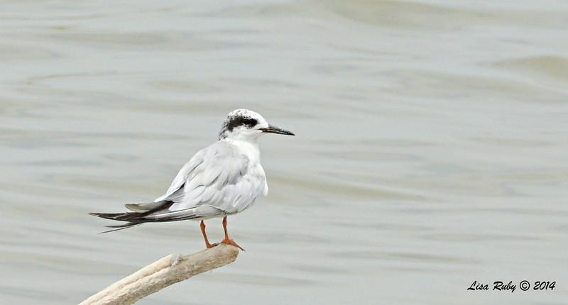 Forster's Tern   - 7/27/2014 - Salton Sea