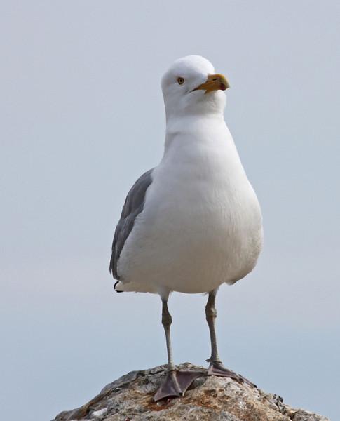 seagull rye 2.jpg