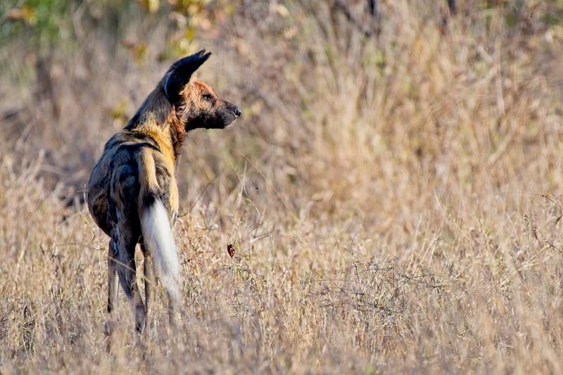 Wild Dogs7.jpg