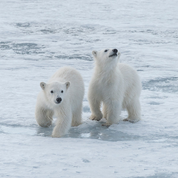Polar Bear cubs, Hornsund 1