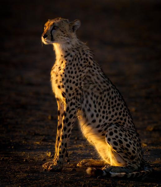 Cheetah basking in first sun rays, Kalahari Desert