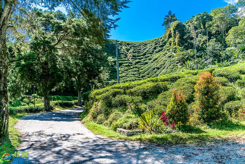 BOH-Tea-Plantation-08541.jpg