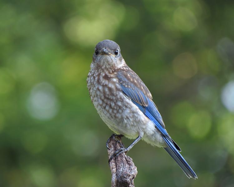 sx40_bluebird_fledgling_boas_085b.jpg