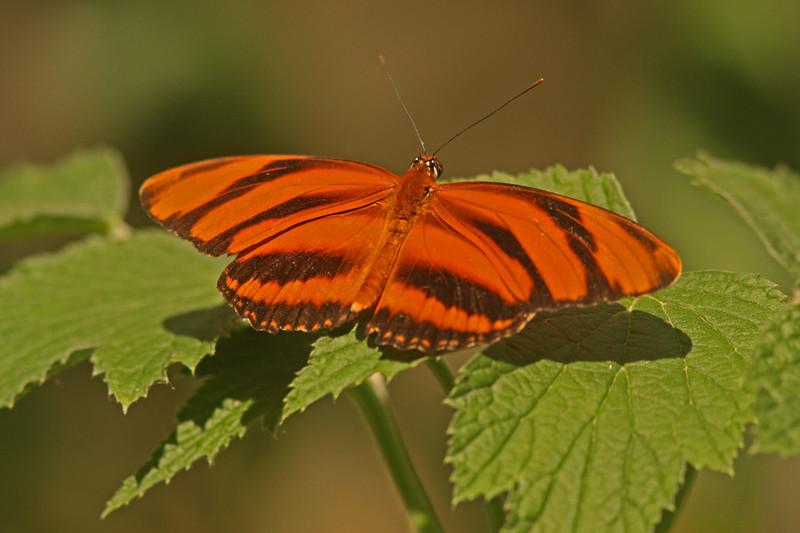 Banded Orange, Turtle Bay Butterfly Garden, Redding CA