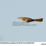 NorthernMockingbird10470 copy.jpg