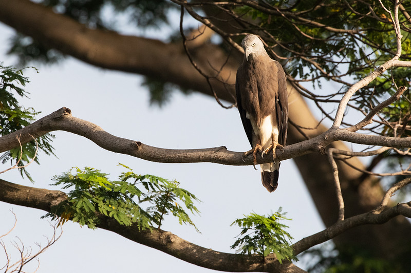 Grey-headed-Fish-Eagle_GL_9377.jpg