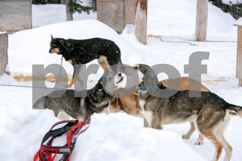 dog sled 23.jpg