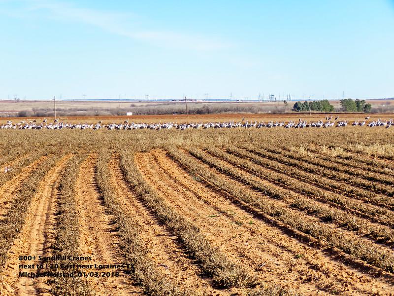 IMG_8963 3T 800+ Sandhill Cranes 1-20 E near Loraine TX 103 1620.jpg