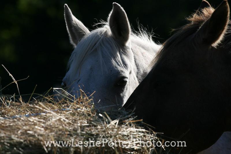 Closeup of Horse at Hay Bale