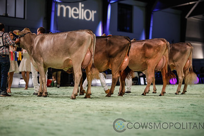 Swiss Expo Brown Swiss Cows 2018