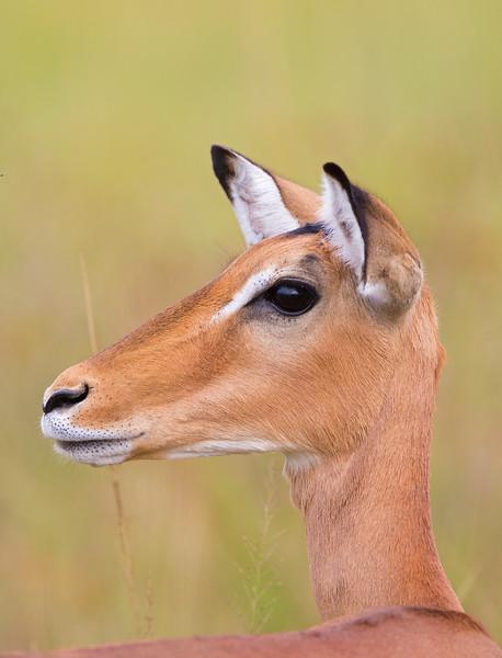 pretty impala.jpg