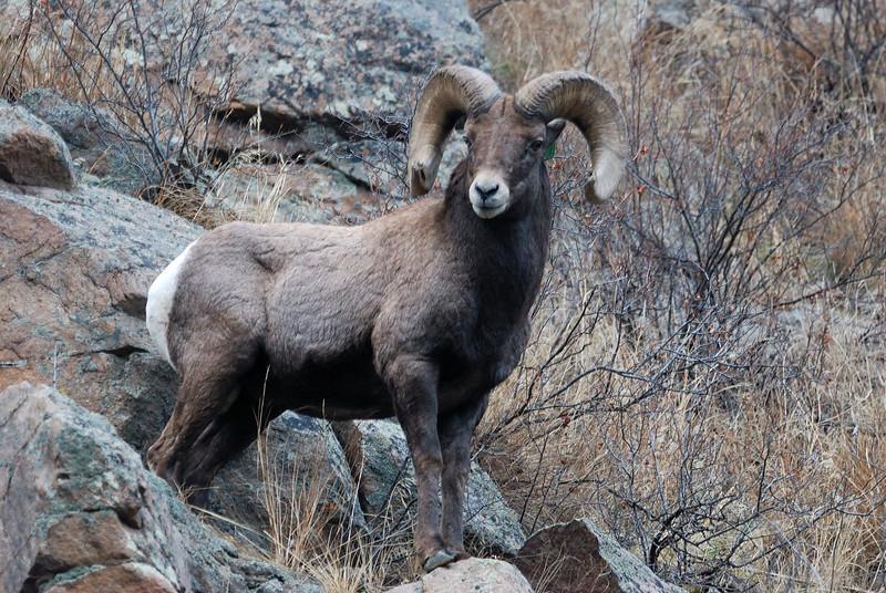 Bighorn Sheep 12062008 074.jpg