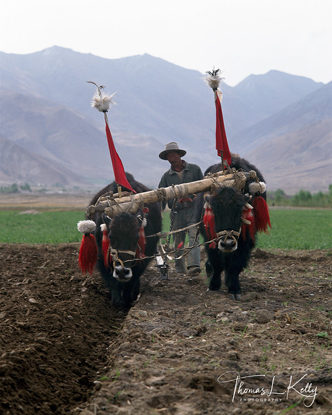 yaks decorated with wool and yak hair tassles and pom poms plow the fields in....