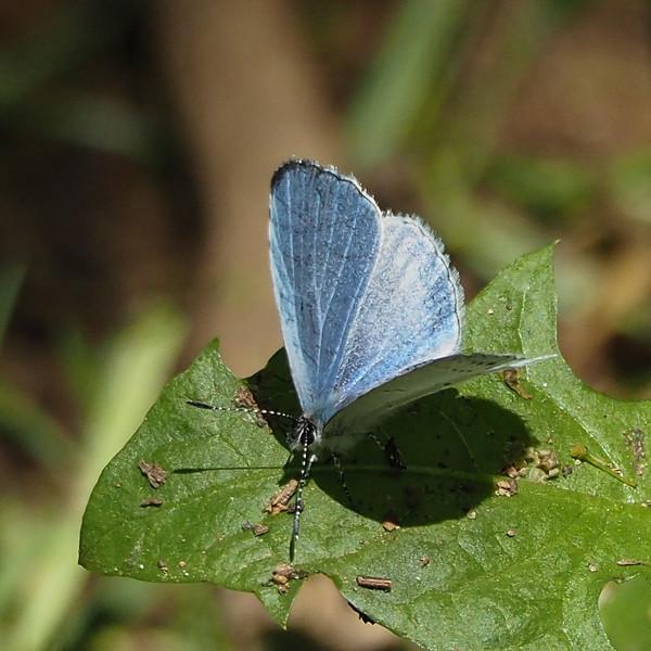 Summer Azure, male